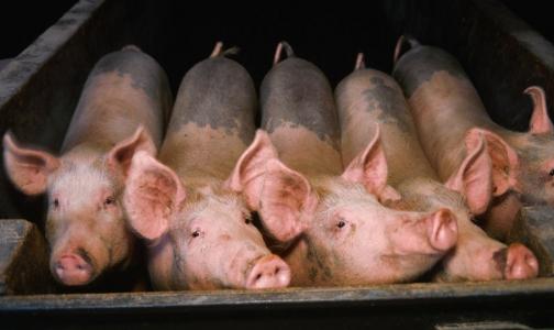 В Эстонии и Финляндии введен запрет на ввоз свинины из Петербурга
