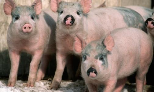Карантин по африканскоя чуме свиней снимут 12 мая