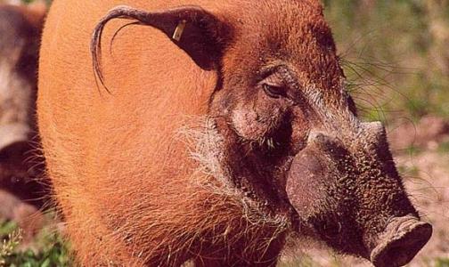 Московский зоопарк закрылся из-за африканской чумы свиней