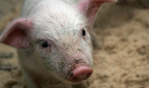 Африканскую чуму свиней обещают держать под контролем