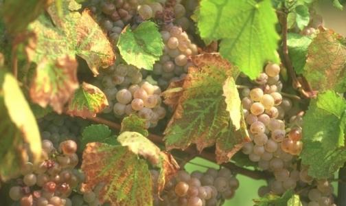 «Доктор Питер» прописал виноградолечение