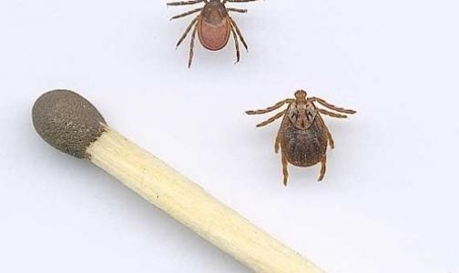 В Ленобласти от укусов клещей пострадали 4 тысячи человек