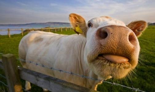 Придется ли России при вступлении в ВТО использовать в животноводстве гормоны роста