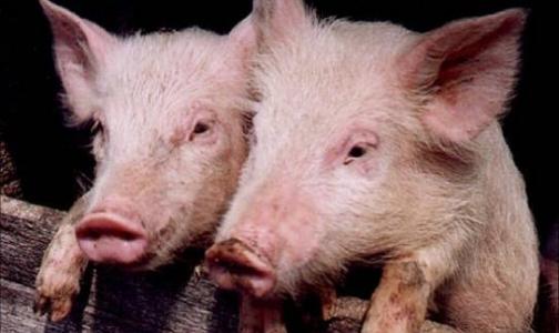 Африканская чума свиней может прийти в Ленобласть