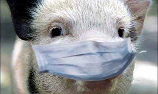 Африканская чума свиней подобралась к Петербургу