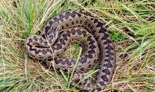 Змеи покусали за лето 12 петербуржцев