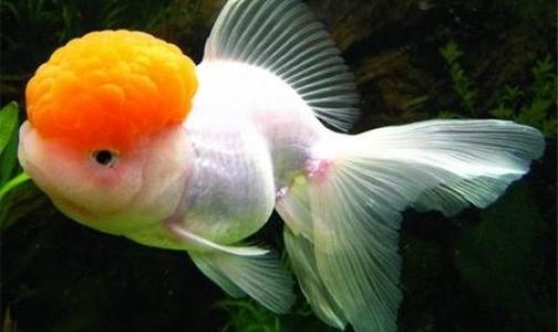 Петербургские ученые открыли на примере золотых рыбок функцию опухолей в организме человека