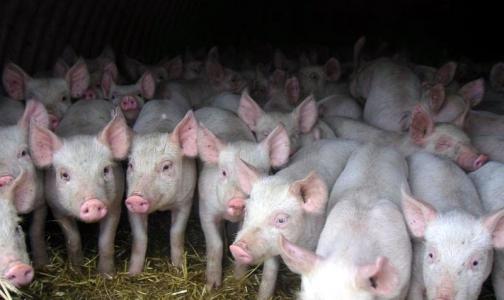 Появился новый «свиной» грипп. В Америке уже есть летальный исход