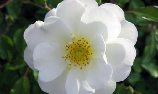 Акция «Белый цветок» в Петербурге опять собрала больше 2 миллионов рублей