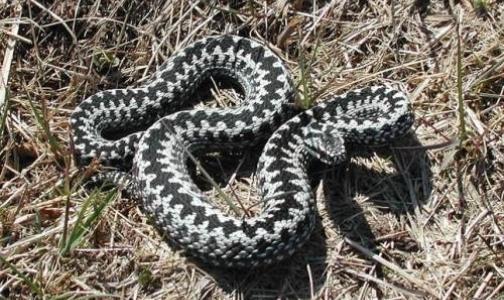 Еще один петербуржец попал в реанимацию после укуса змеи