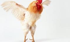 Выявлен первый случай передачи «птичьего» гриппа от человека к человеку