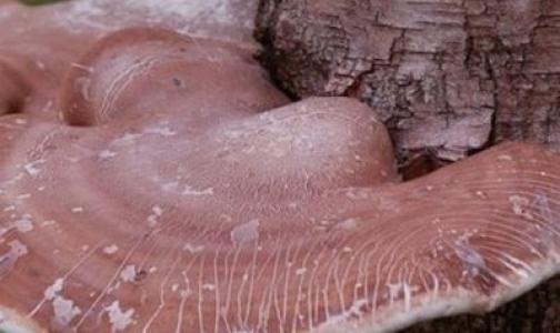 Российские грибы начали использовать для лечения СПИДа и гриппа