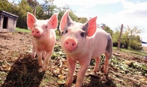 Россия вводит запрет на ввоз европейской свинины из-за африканской чумы