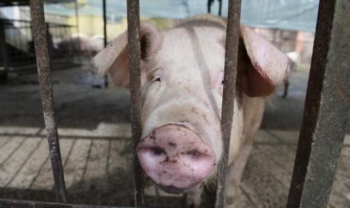 Чума свиней появилась на Великолукском свинокомплексе из-за нарушения дезинфекции