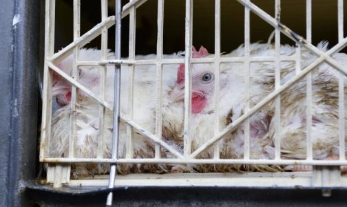 В Европе регистрируют случаи птичьего гриппа