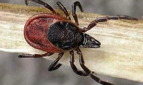 Роспотребнадзор сообщил о первых заразившихся «клещевыми» инфекциями