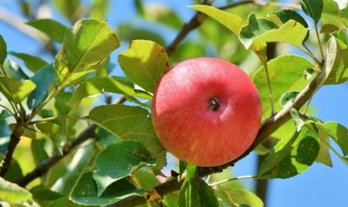 Специалисты выяснили, где лучше покупать яблоки