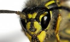 В Минздраве рассказали, что делать при укусе осы и пчелы