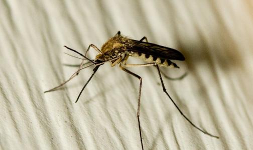 Кого чаще всего кусают комары и как от них спрятаться