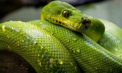 Ученые: Коронавирус мог попасть в организм человека вместе со змеиным мясом