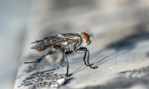 Роспотребнадзор рассказал, могут ли мухи быть переносчиками коронавируса
