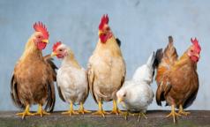На Филиппинах зафиксировали очаг высокопатогенного птичьего гриппа