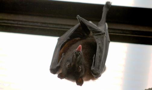 Специалисты Роспотребнадзора протестируют местных летучих мышей на коронавирусы