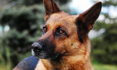 В России собак начали учить вынюхивать носителей коронавируса