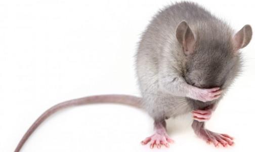 Мыши-алкоголики помогут американским ученым найти способ борьбы с пристрастием к спиртному