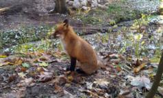 Голодная лиса — здоровая лиса. Петербуржцам посоветовали не бояться гуляющих по городу зверей, но и не трогать их