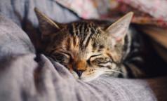 Ученые обещают: Россия может стать первой страной без аллергии на кошек