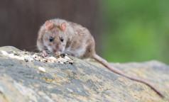 Роспотребнадзор: Подвальная крыса может укусить, что делать