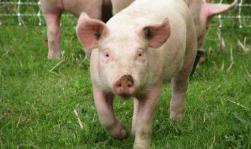 В Ленинградской области - карантин по африканской чуме свиней