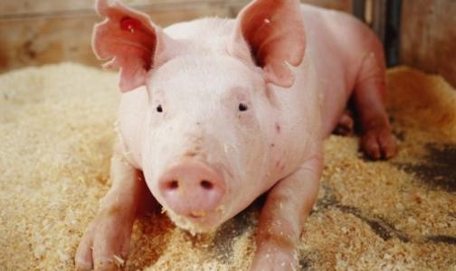 В трех районах Петербурга уничтожат все поголовье свиней