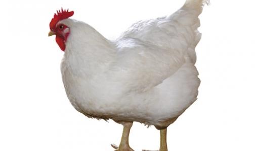 Распространение птичьего гриппа остановят ГМО-куры