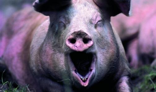 Карантин по африканской чуме свиней снимут