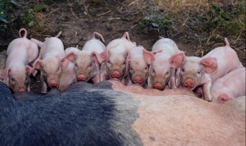 Африканская чума свиней вернулась