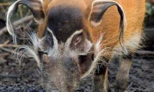 Африканской чумы свиней в Москве нет
