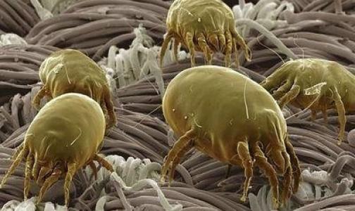 От пылевого клеща защитят бифидобактерии