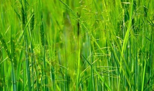 Какие травы опасны для аллергиков в июле