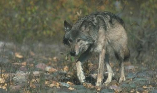 У карельских волков впервые за полвека нашли бешенство