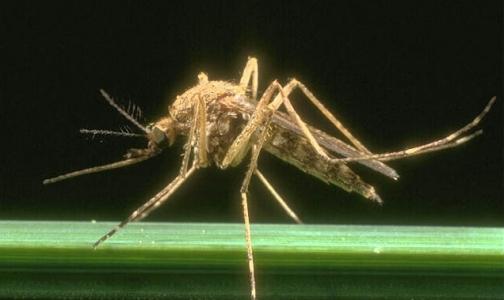 С малярией будут бороться бесплодные комары