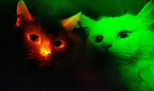 В изучении СПИДа ученым помогут светящиеся коты