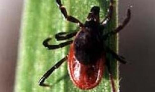 Половина клещей в Ленобласти заражены боррелиями и вирусом энцефалита