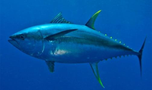 Петербургский Роспотребнадзор ищет американского тунца с сальмонеллой