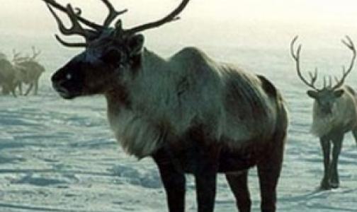 В Пулково арестовано мясо северного оленя без ветеринарных документов