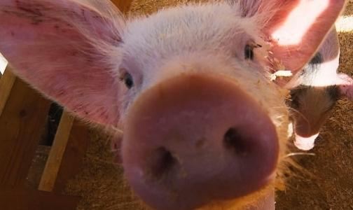 На ярмарке торговали мясом, зараженным чумой свиней