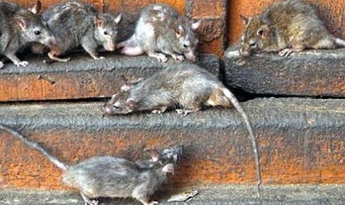 Если в вашем дворе бегают крысы, жалуйтесь в Роспотребнадзор