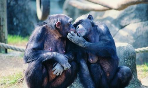 Американцы отказались от медицинских опытов над шимпанзе