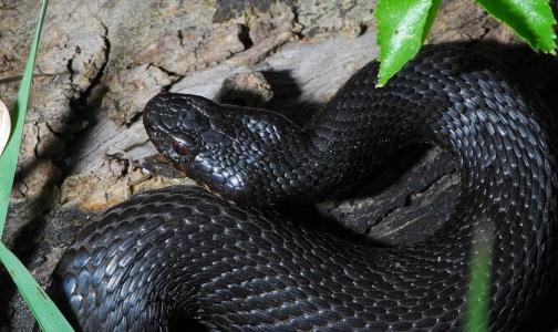 В июне змеи укусили двух петербуржцев